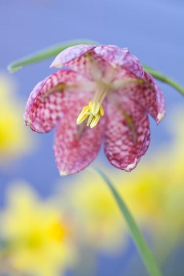 Kungsängslilja i närbild. Foto: Blomsterfrämjandet