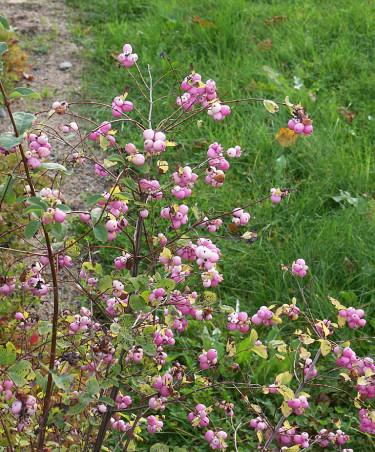 En rosa variant av **snöbär**, _Symphoricarpos x doorenbosii_ 'Mother of Pearl'. Foto: Bernt Svensson