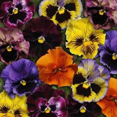 Viola x wittrockiana 'Frizzle Sizzle' Foto: Blomsterfrämjandet/Hörnhem
