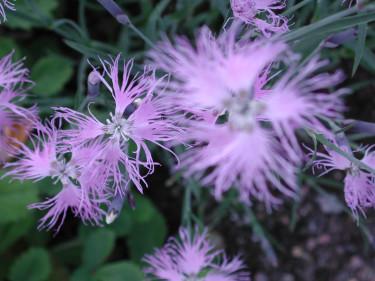 _Dianthus sp_. fjädernejlika.