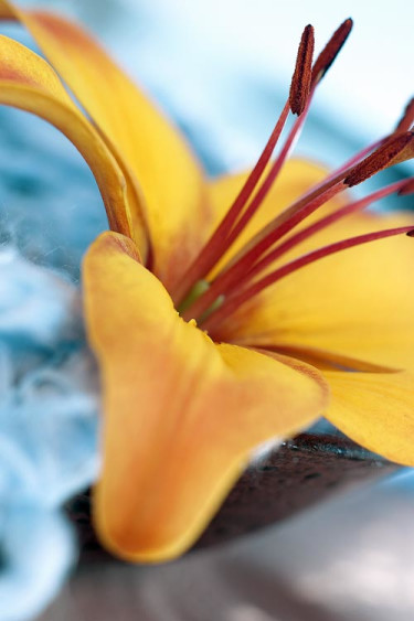 Liljor till vardag och fest. Foto: Flower Council of Holland.