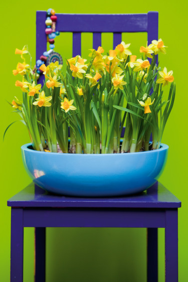Narcissus 'Tête-à-tête' mot en färgstark bakgrund. Foto: Blomsterfrämjandet
