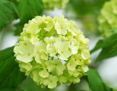 Som nyutslagna är snöbollsbuskens blommor fräscht limegröna och används ofta i blomsterarrangemang och buketter.