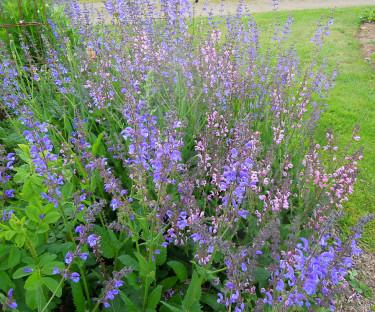 Fyll blottor i rabatten med krukodlat, här _Salvia pratensis_ i två färger. Foto: Sylvia Svensson