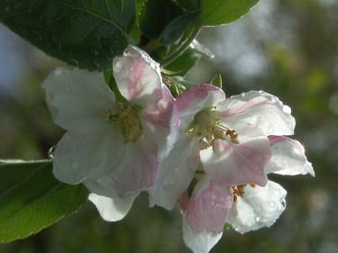 Appelblom
