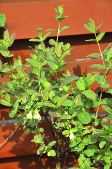 Blåbärstry, ung planta. Foto: Bernt Svensson