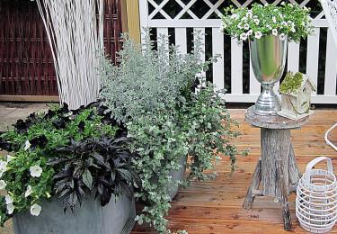 Småpetunia tillsammans med silverskimrande malört och rabatteternell samt svart batat. Foto: Mäster Grön