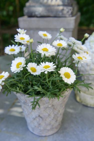 Marguerit är en klassisk sommarblomma som blommar länge. Foto: Floradania