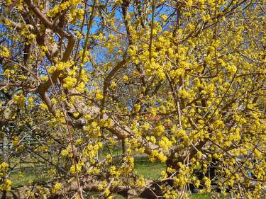 Ett gammalt körsbärskornellträd blommar ymnigt på våren. Foto: Sylvia Svensson