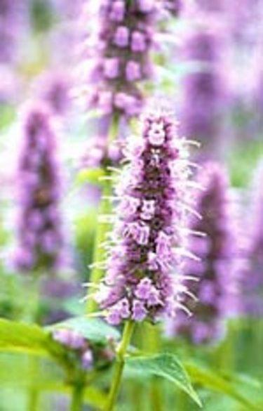 De violetta blommorna är vackra. Här en blommande grönmynta. Foto: Odla.nu.