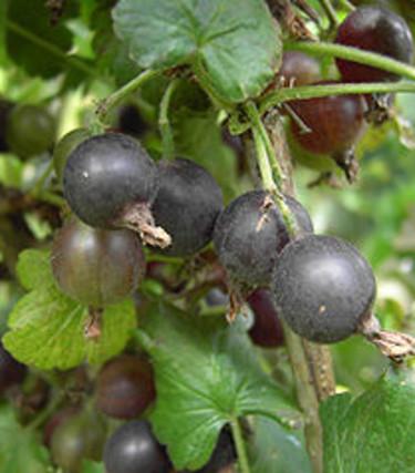 Jostabär, _Ribes nigrum × uva-crispa_, − smakar som krusbär och svarta vinbär i ett!  Foto: Wikipedia