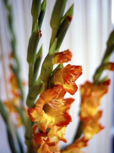 Gladiolus. Foto: Lena Granefelt.