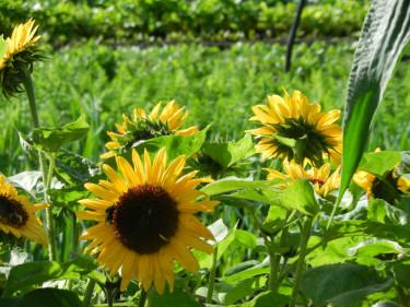Ett fält med solrosor - mer sommar blir det väl knappast.  Foto: Susanne Lundberg