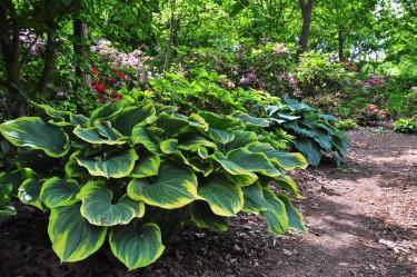 Funkior i woodlandmiljö med bl.a. rododendron