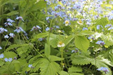 Smultron och Förgätmigej i blom
