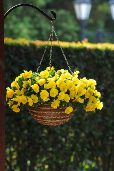 Pensé, _Viola x wittrockiana_, 'Cool Wave Yellow'. Foto: Blomsterfrämjandet/Hörnhems