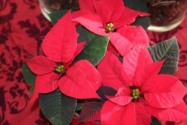 Röd Jul med klassisk julstjärna. Foto: Blomsterfrämjandet.