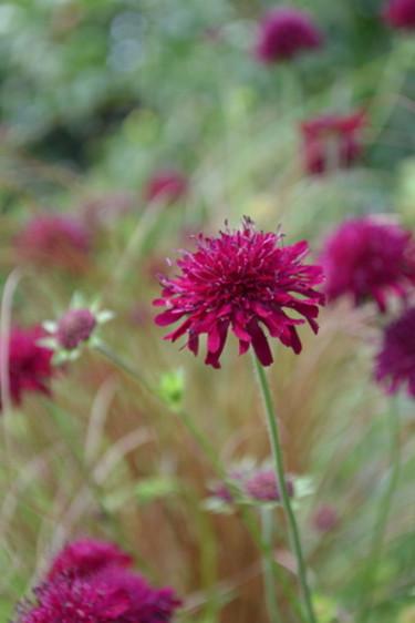 Kopparstarr, _Carex buchananii_, och grekisk vädd. Foto Blomsterfrämjandet