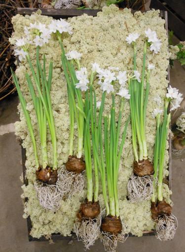Något ovanligare tazettarrangemang! Spreja vatten på rötterna så hålls blommorna fräscha.  Foto: Sylvia Svensson, tagen i Partihallarna i Gbg
