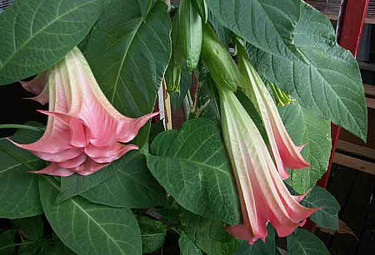 Ljuvt rosa änglatrumpet.Foto: Bernt Svensson