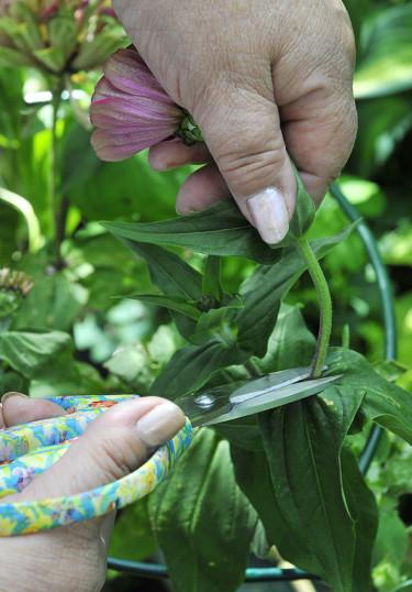 Sommarblommor som zinnia: klipp i bladfästet under den vissna blomman. Foto: Bernt Svensson