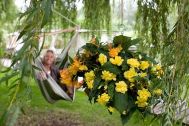Hängbegonia i en mixampel. Foto: Blomsterfrämjandet IBC.
