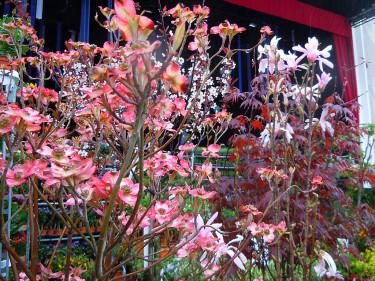 Blomsterkornell och andra exotiska träd till salu Foto: Sylvia Svensson