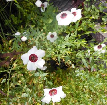 Blomsterlin Linum grandiflorum 'Bright Eyes' Foto: Sylvia Svensson