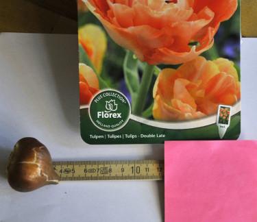 Planteringsdjup = 3 x lökens höjd. Tulpan ca 10-12 cm djupt.