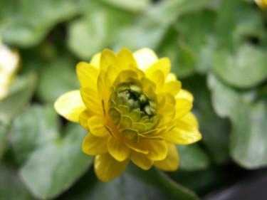 Svalört, _Ranunculus ficaria_, 'Flore Pleno'. Foto: Sylvia Svensson