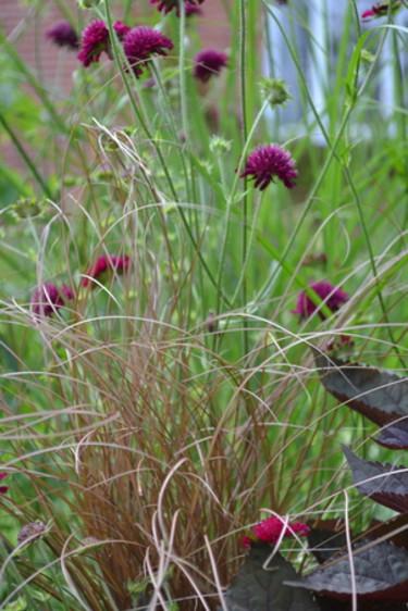Kopparstarr,  _Carex buchananii_, i rabatten. Foto Blomsterfrämjandet