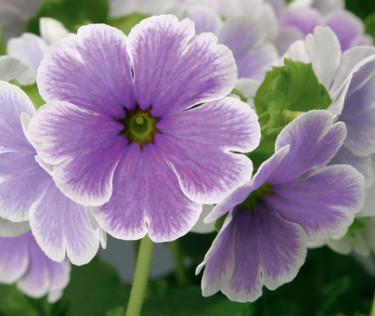 Fönsterviva, _Primula obconica_ 'Embrace Blue Picotee'. Foto: Blomsterfrämjandet/Syngenta