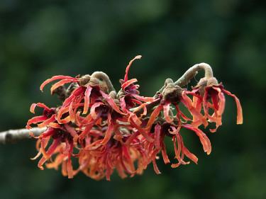 Hamamelis x integrifolia 'Diane' i full blom! Foto: Sylvia Svensson