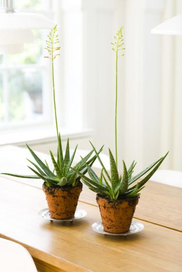 Aloe, ännu en lättskött och spännande krukväxt. Foto: Floradania