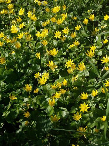Svalört, _Ranunculus ficaria_ Foto: Bernt Svensson