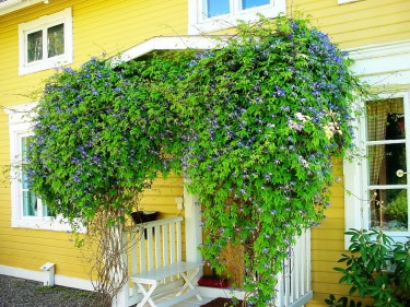 Alpklematis blommar magnifikt även på skuggsidan av en byggnad.
