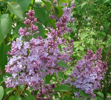 Syren blommar på årsskotten och beskärs direkt efter blomningen.
