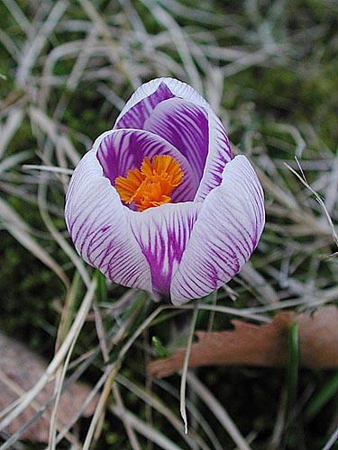 De första krokusarna kanske blommar snart. Foto: Sylvia Svensson