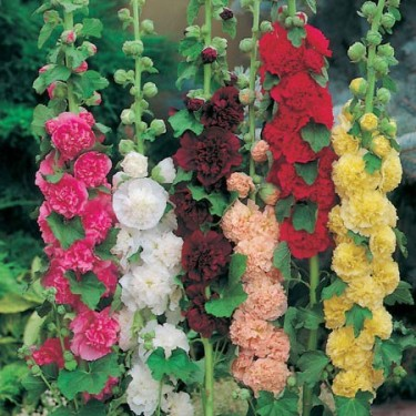 Stockros, Alcea rosea 'Chaters Double Mixed'