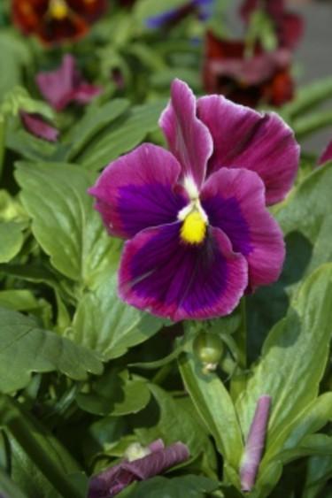 Vinröd pensé Foto: Blomsterfrämjandet