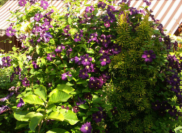 Clematis 'Venosa Violacea' + 'Etoile Violette'  Foto: Sylvia Svensson