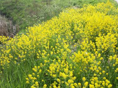 **Sommargyllen**, _Barbarea vulgaris_, blommar i maj på tröskeln till sommaren Foto: Sylvia Svensson