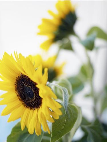 Solrosfrön gror snabbt och blir till stora spännande blommor!