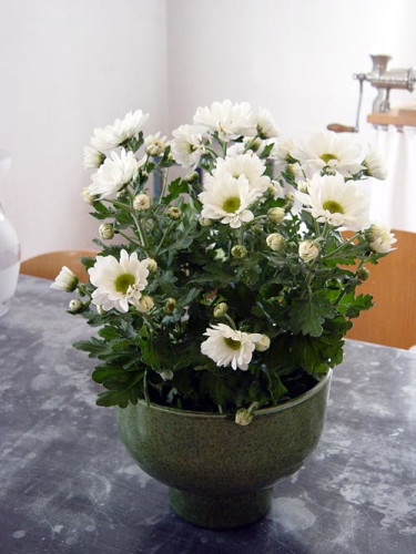 Krysantemum, _Dentranthema grandiflorum_.