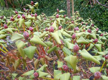 Barfrosten gick hårt åt mina rododendron.