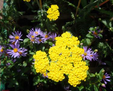 Violett höstaster och gyllenröllika _Achillea clypeolata_ 'Moonshine'.  Foto: Bernt Svensson