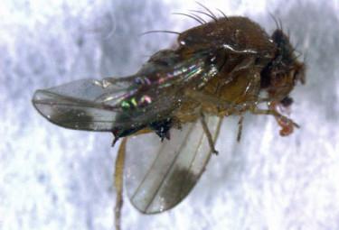 Drosophila suzukii liknar vår vanliga bananfluga. Den har röda ögon och gulbrun kropp. Hanarna har en mörk fläck på vardera vinge. Det här exemplaret fångades nyligen i Skåne i en fläderbuske. Foto: Sanja Manduric
