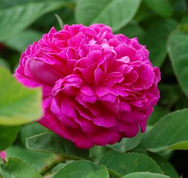 'Rose de Rescht' Foto: H Verghese Borg