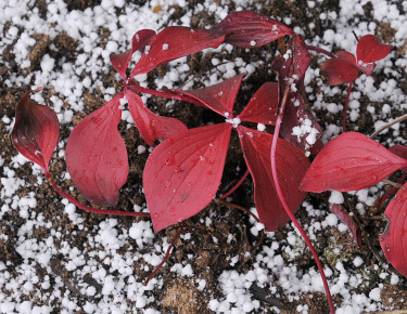 Nyplanterat amerikanskt hönsbär, _Cornus canadensis_, med häftig höstfärg.  Foto: Bernt Svensson