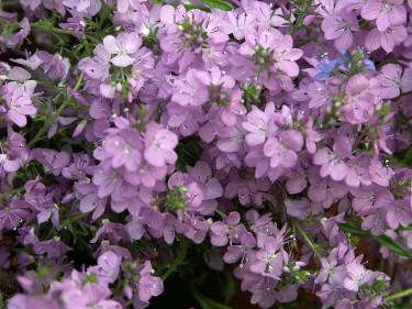 Mattveronika, _Veronica prostrata_ 'Mrs Holt' blommar ljuvligt fint. Foto: Sylvia Svensson